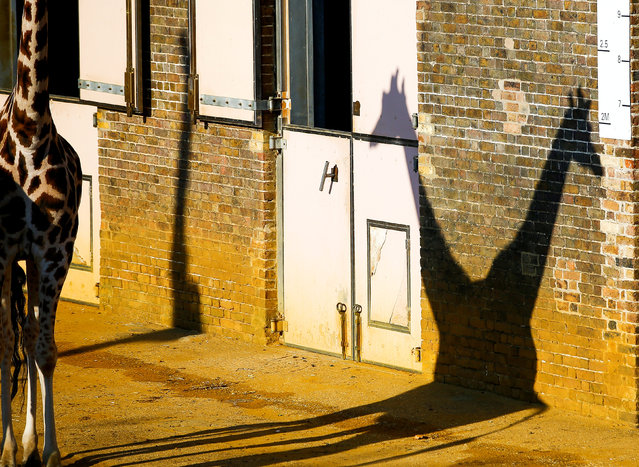 A pair of giraffes cast a shadow at London Zoo in London, Britain, October 25, 2018. (Photo by Henry Nicholls/Reuters)
