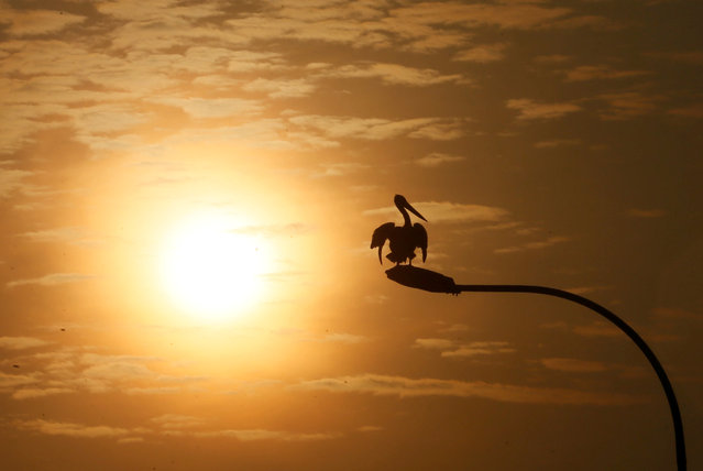A pelicans dries its feathers on top of a lamp post during sunrise in Colombo, Sri Lanka February 21, 2017. (Photo by Dinuka Liyanawatte/Reuters)