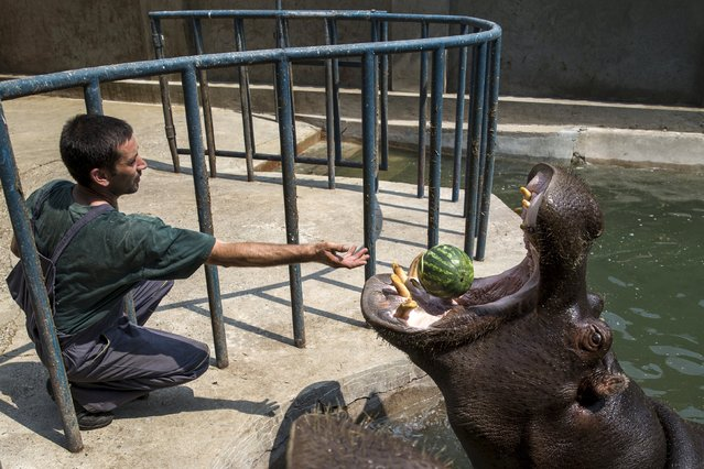 A zookeeper feeds a hippopotamus with a watermelon in its enclosure in Belgrade's zoo, Serbia July 20, 2015. (Photo by Marko Djurica/Reuters)