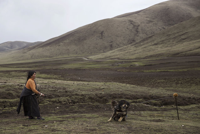 A Tibetan nomad holds her dog at a temporary camp for picking cordycep fungus on May 22, 2016 on the Tibetan Plateau near Sershul in the Garze Tibetan Autonomous Prefecture of Sichuan province. (Photo by Kevin Frayer/Getty Images)