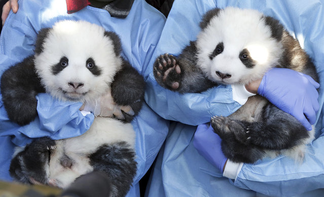 "Zookeeper hold ""Meng Yuan"" and ""Meng Xiang"" during a name-giving event for the young panda twins at the Berlin Zoo in Berlin, Germany, Monday, December 9, 2019. China's permanent loan Pandas Meng Meng and Jiao Qing are the parents of the two cubs that were born on Aug. 31, 2019 at the Zoo in Berlin. (Photo by Michael Sohn/AP Photo)"