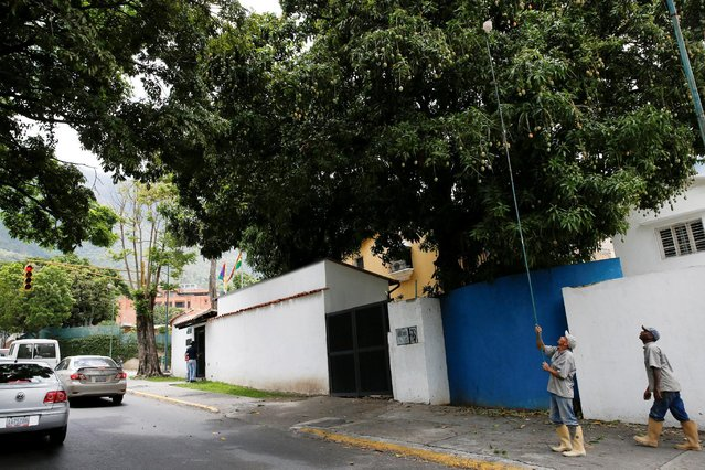 A worker uses a plastic container tied to a stick to dislodge mangoes from a tree in Caracas, Venezuela, June 6, 2016. (Photo by Carlos Garcia Rawlins/Reuters)