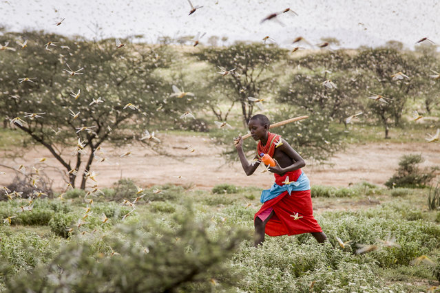 In this photo taken Thursday, January 16, 2020, a Samburu boy uses a wooden stick to try to swat a swarm of desert locusts filling the air, as he herds his camel near the village of Sissia, in Samburu county, Kenya. The most serious outbreak of desert locusts in 25 years is spreading across East Africa and posing an unprecedented threat to food security in some of the world's most vulnerable countries, authorities say, with unusual climate conditions partly to blame. (Photo by Patrick Ngugi/AP Photo)