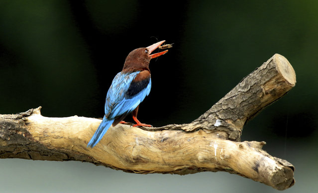 A common kingfisher sits on a branch of a tree after catching an insect in Allahabad, India, Sunday, July 9, 2017. The common kingfisher is a highly territorial bird that has to eat nearly sixty percent of its bodyweight every day. (Photo by Rajesh Kumar Singh/AP Photo)
