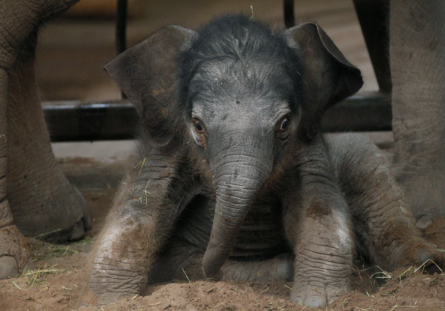 An Indian elephant calf sits in her enclosure at Chester zoo, northern England, January 24, 2011. (Photo by Phil Noble/Reuters)