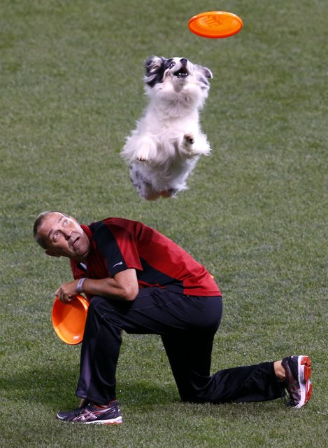 A dog leaps for a frisbee while performing during a break in the MLB All-Star baseball Home Run Derby, Monday, July 14, 2014, in Minneapolis. (Photo by Paul Sancya/AP Photo)