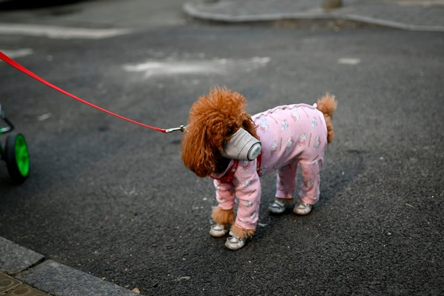 A dog wears a mask over its mouth on a street in Beijing on February 13, 2020. The number of deaths and new cases from China's COVID-19 coronavirus outbreak spiked dramatically on February 13 after authorities changed the way they count infections in a move that will likely fuel speculation that the severity of the outbreak has been under-reported. (Photo by Wang Zhao/AFP Photo)