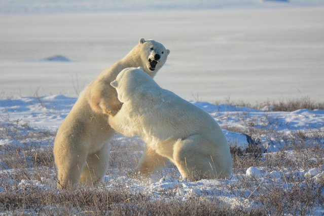 """""""Sparring Polar Bears"""". Laurie McLeish, 57, of Burtonsville, Md., took this image with a Nikon 5200 in Churchill, Manitoba, in November 2014. (Photo by Laurie McLeish)"""