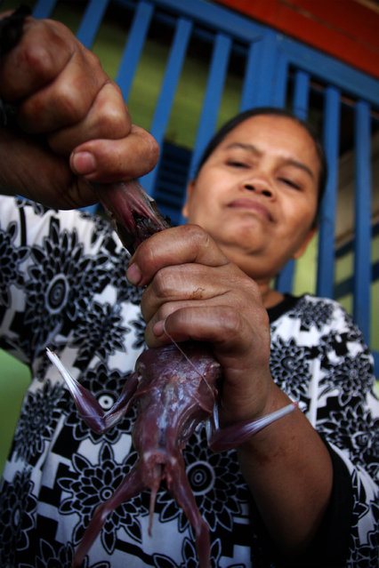 Bat seller Sukarwati skins a bat on July 30, 2009 in Yogyakarta, Indonesia. Sukarwati and her family have hunted bats in the Imogiri region for generations, capturing more than 800 bats per month. The Sukarwati family believe that the meat from the bat heals asthma and respiratory problems and it is a great honour for them knowing that the meat that they provide will help ease people's health ailments.  (Photo by Ulet Ifansasti)