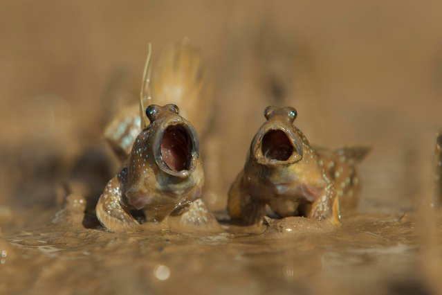 Two mudskippers sing their hearts out on tidal mudflats, taken in Krabi, Thailand. (Photo by Daniel Trim/Comedy Wildlife Photography Awards/Barcroft Media)