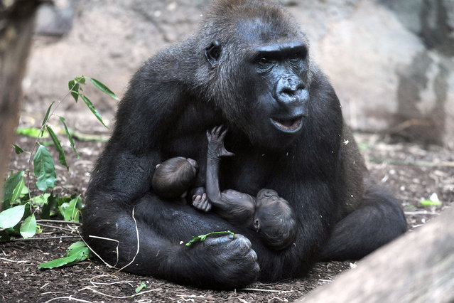 A female gorilla named Dian holds her twin babies in her arms in an enclosure of the zoo in Frankfurt am Main,Germany, 15 September 2015. Twin births are considered very rare among gorillas. (Photo by Winfried Faust/DPA via ZUMA Press)