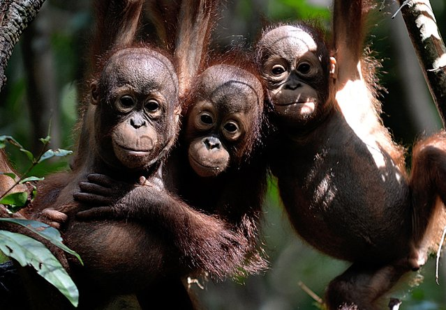 "This picture taken on August 4, 2016 shows three orphaned orangutan babies hanging in a tree whilst attending ""jungle school"" at the International Animal Rescue centre outside the city of Ketapang in West Kalimantan. (Photo by Bay Ismoyo/AFP Photo)"