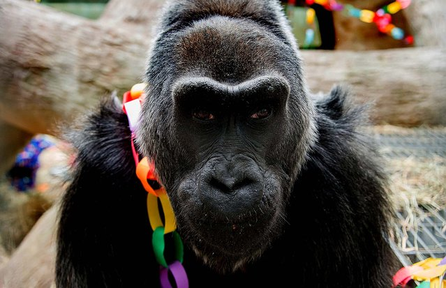 56-year-old Colo celebrates her birthday at the Columbus Zoo and Aquarium in Columbus, Ohio, December 22, 2012. Colo is the oldest gorilla in any Zoo. (Photo by Grahm S. Jones/Columbus Zoo and Aquarium)