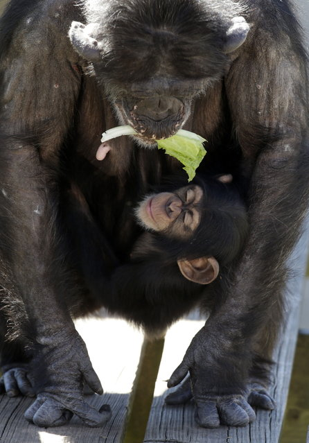 A mother chimp holds a piece of lettuce in her mouth as she carries her baby at Chimp Haven in Keithville, La., Tuesday, February 19, 2013. One hundred and eleven chimpanzees will be coming from a south Louisiana laboratory to Chimp Haven, the national sanctuary for chimpanzees retired from federal research. (AP Photo/Gerald Herbert)