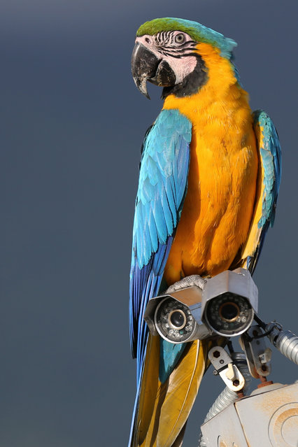 A macaw perches on a building's security camera in Caracas, Venezuela. In one of the world's most-hostile urban jungles, the spectacle of rainbow-colored tropical birds streaking across the late-afternoon sky has become a natural respite from rampant crime and choking pollution. (Photo by Ariana Cubillos/AP Photo)