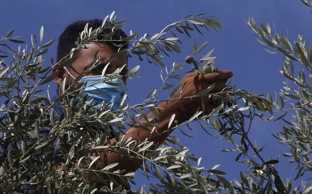 A Palestinian farmer wears a face mask while harvesting olives, in Gaza City, Thursday, October 8, 2020. Palestinians begin the olive harvest in October, a staple for many local farmers that also use them to produce oil. (Photo by Hatem Moussa/AP Photo)