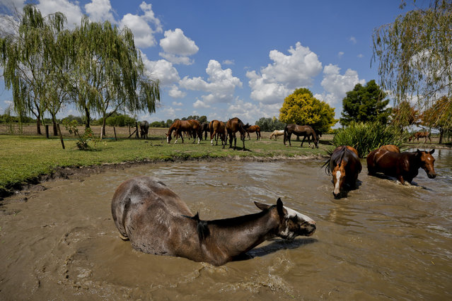 "In this February 27, 2018 photo, a group of ponies neighed and splashed on a pond cooling off after a polo game at La Carona club, Capilla del Senor, Buenos Aires province, Argentina. ""Polo is played in the countryside a lot and in a much more informal way"", said Juan Pablo Alessandrini, spokesman for Argentina's Polo Association. (Photo by Victor R. Caivano/AP Photo)"