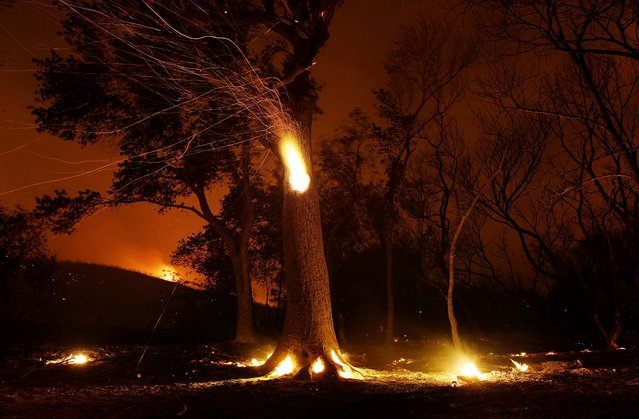 Sparks fly from a hollowed tree burning within during the Powerhouse fire near Lake Hughes, California on June 2, 2013. (Photo by David McNew/Getty Images)