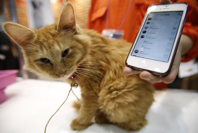 "A cat wears a ""Tsunagaru Col"" gadget next to a smart phone displaying the connected app, at the Anicall Corp booth during the Wearable Device Technology Expo in Tokyo January 14, 2015. The gadget (""Tsunagaru"" means connection) for animals tracks information about pets, such as the location and other animals the pet might be interacting with, with the purpose of providing ""social networking"" for animals. (Photo by Yuya Shino/Reuters)"
