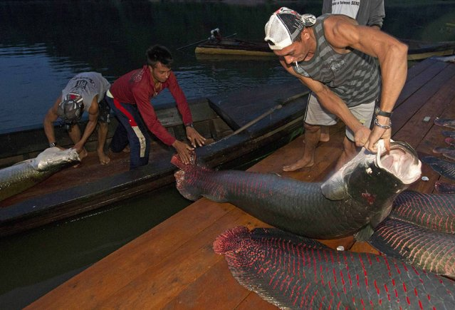 Villagers from the Medio Jurua nature reserve of Brazil's Amazon rainforest arrive with their catch of pirarucus, the largest freshwater fish in South America, after a night of fishing in Manaria Lake, Carauari municipality, September 3, 2012. Catching the pirarucu, a fish that is sought after for its meat and is considered by biologists to be a living fossil, is only allowed once a year by Brazil's environmental protection agency. (Photo by Bruno Kelly/Reuters)