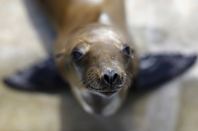 A rescued California sea lion pup looks up from her holding pen at Sea World San Diego in San Diego, California January 28, 2015. Over 50 malnourished sea lion pups have had to be rescued along the coast in San Diego since the beginning of the year. (Photo by Mike Blake/Reuters)