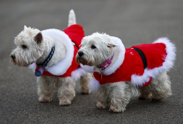 Two Scottish Terriers wear Christmas themed coats as they join their owners to watch the annual Christmas Day Peter Pan Cup handicap swimming race in the Serpentine River, in Hyde Park, London, December 25, 2015. (Photo by Andrew Winning/Reuters)