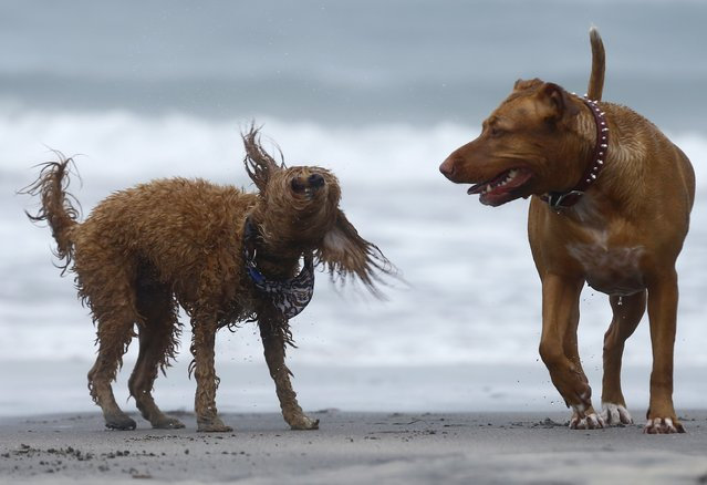 A miniature Labradoodle dog shakes off sea water as it plays with another dog along the beach in Del Mar, California February 3, 2015. (Photo by Mike Blake/Reuters)