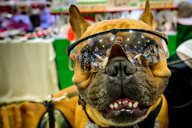 A French bulldog wears sunglasses at the 10th Thailand international Pet Variety Exhibition in Bangkok on March 26, 2021. (Photo by Mladen Antonov/AFP Photo)