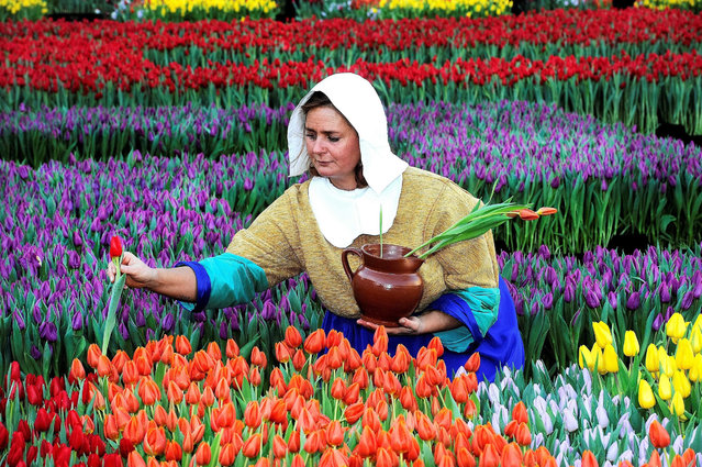 A woman dressed as The Milkmaid (Het Melkmeisje), after a painting by Dutch painter Johannes Vermeer, picks up tulips at the National Tulip Day on the Dam, Amsterdam, the Netherlands, 16 January 2016. The event is the official start of the international tulip season which runs until the end of April. (Photo by Evert Elzinga/EPA)