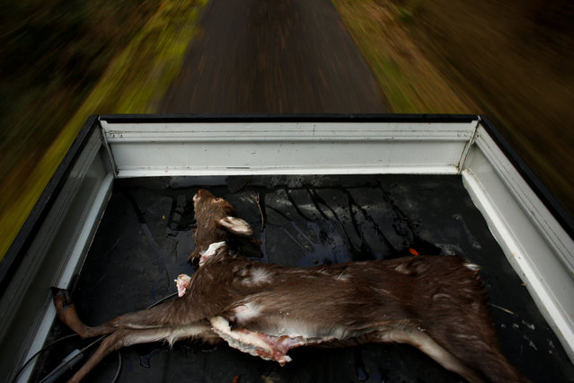 A deer carcass lies in the back of a truck in a forest outside Oi, Fukui Prefecture, Japan, November 17, 2016. (Photo by Thomas Peter/Reuters)