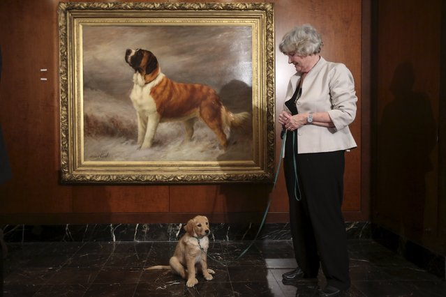 A woman poses with golden retriever Flash following a press event for the American Kennel Club to reveal the nations most popular dog breeds in the Manhattan borough of New York, February 22, 2016. (Photo by Carlo Allegri/Reuters)