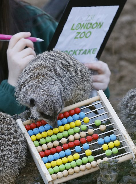 A Meercat inspects an abacus as a keeper counts them during a stocktake at London Zoo, Thursday, January 2, 2014. (Photo by Kirsty Wigglesworth/AP Photo)
