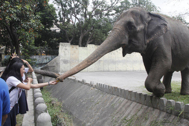 """Filipino students feed the forty-two year old Asian elephant Maali at Manila Zoo on World Wildlife Day on March 3, 2016. The United Nations declared March 3 as global wildlife awareness day, and this year's theme """"The future of wildlife in our hands"""" focused on Asian and African elephants that has become victims of wildlife trafficking. The UN hoped to see more commitment from countries worldwide to stop such abuse. (Photo by Marlo Cueto/Pacific Press via ZUMA Wire)"""