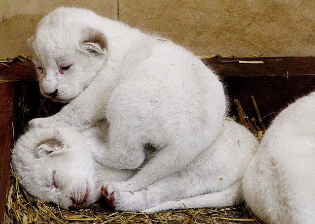 White lion cubs, one-week old, sleep in their cage in a private zoo in Borysew, Poland, on February 4, 2014. (Photo by Czarek Sokolowski/Asociated Press)