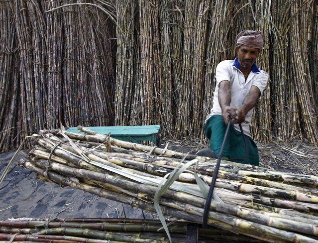 A labourer ties a bundle of sugarcane on a rickshaw to transport it at a wholesale sugarcane market in Kolkata, India, May 4, 2015. With farmers staying put on cane fields, India is seen producing excess sugar in 2015/16. A sixth annual surplus, the longest such stretch ever, will allow the world's No.2 sugar producer after Brazil to remain a net exporter, denting global prices that hit six-year lows in March on ample supplies. (Photo by Rupak De Chowdhuri/Reuters)