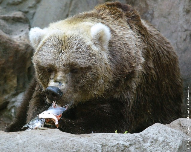 Bear Eat Fish