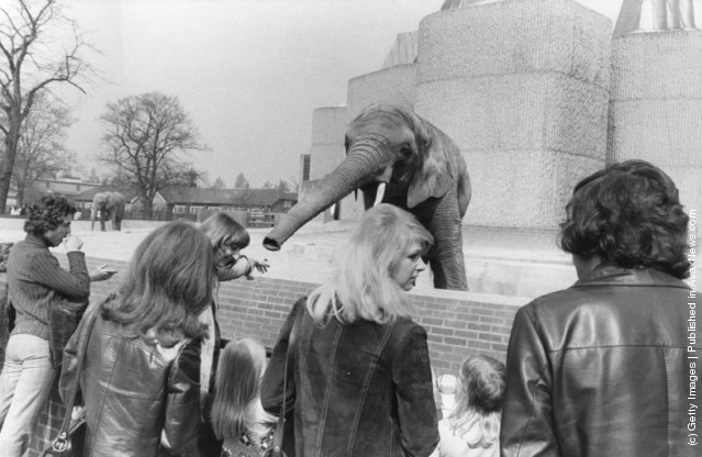 1974: An elephant extends his trunk towards the visitors from his new enclosure at London Zoo