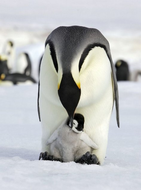 An Emperor Penguin chick nestled between the legs of its doting mother. (Photo by Ardea Wildlife Pets Environment/Caters News)
