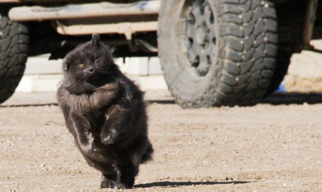 Sygmond The Grey Majestic Cat