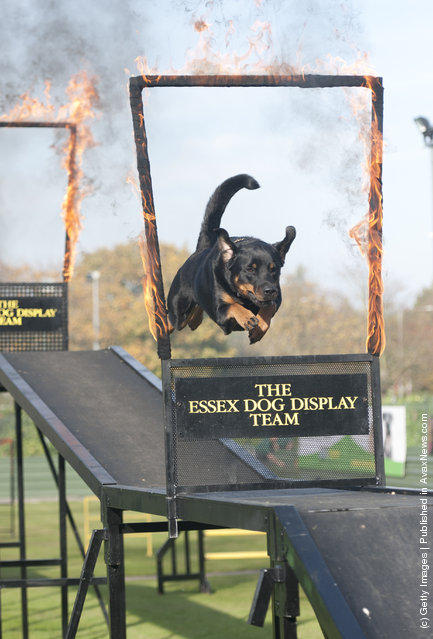 A dog from the Essex Dog Display team performs for Camilla, Duchess of Cornwall