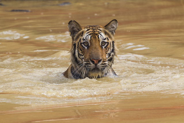 A 14-month-old cub, cooling off in a pond, is riveted by a deer that appeared near the shore. Tigers are powerful swimmers; they can easily cross rivers four to five miles wide and have been known to swim distances of up to 18 miles. (Photo by Steve Winter/National Geographic)