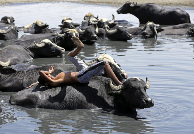 A child rests on the back of a water buffalo in the Diyala River in Baghdad, Iraq, Monday, July 6, 2015. The animals are bathed daily to help keep them free of diseases and to protect them from the heat. (Photo by Hadi Mizban/AP Photo)