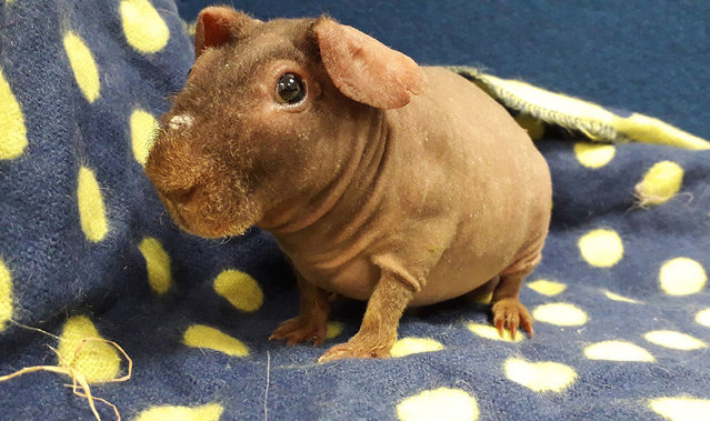 "A warthog is looking for a new home in Middlesex, UK October 2019, after he and nine other ""skinny pigs"" were signed over to the RSPCA when their previous owner struggled to cope. They are guinea pigs bred to have no fur, in a similar way to sphynx cats. (Photo by RSPCA/PA Wire Press Association)"
