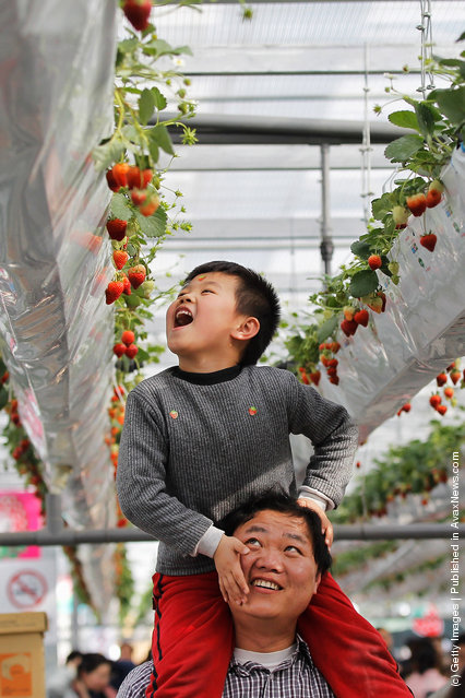 A boy sits on his father's shoulders to look at strawberries at the 7th International Strawberry Symposium in Beijing