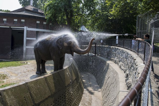 A zookeeper sprays water onto Twiggy, a 42 year-old asian elephant to help it cool down in its enclosure in Belgrade's zoo, Serbia July 20, 2015. (Photo by Marko Djurica/Reuters)