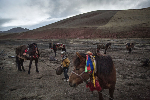 A young Tibetan boy tends to horses at a camp for cordycep pickers on May 23, 2016 on the TIbetan Plateau near Zadoi in the Yushu Tibetan Autonomous Prefecture of Qinghai province. (Photo by Kevin Frayer/Getty Images)
