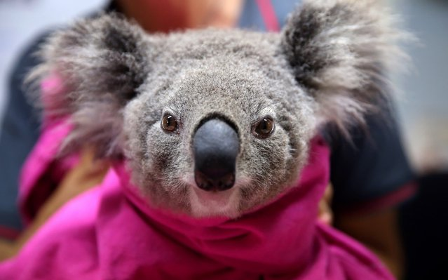 A koala named Lisa from Pappinbarra recovers from burns at The Port Macquarie Koala Hospital on November 29, 2019 in Port Macquarie, Australia. Volunteers from the Koala Hospital have been working alongside National Parks and Wildlife Service crews searching for koalas following weeks of devastating bushfires across New South Wales and Queensland. Koalas rescued from fire grounds have been brought back to the hospital for treatment. An estimated million hectares of land has been burned by bushfire across Australia following catastrophic fire conditions in recent weeks, killing an estimated 1000 koalas along with other wildlife. (Photo by Nathan Edwards/Getty Images)
