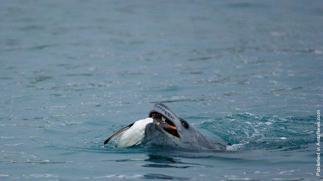 A leopard seal captures a Gentoo penguin near Palmer Station, Antarctica
