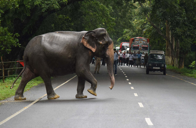 Commuters watch a wild elephant cross a highway as it tries to escape to higher ground at flood affected Kaziranga National Park on July 10, 2017 in Assam, India. (Photo by Anuwar Hazarika/Barcroft Images)