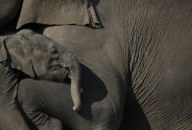 A one and a half months old baby elephant stands close to its mother at Chitwan National Park in Chitwan, south of Kathmandu December 30, 2014. (Photo by Navesh Chitrakar/Reuters)